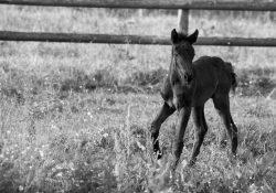 Bienvenue au petit Hayden, cheval de Mérens au Haras du Diamantnoir