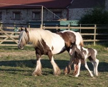 Gypsy cob_Finesse_naissance (2)