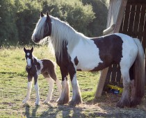 Gypsy cob_Finesse_naissance (3)