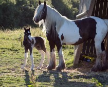 Gypsy cob_Finesse_naissance (4)