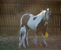 Gypsy cob_Finesse_naissance (7)
