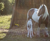 Gypsy cob_Finesse_naissance (8)